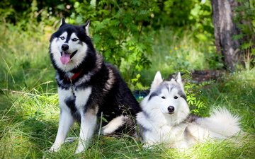 gras, sommer, husky, freunde, hunde, malamute, alaskan malamute, siberian husky