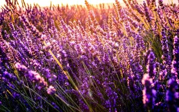 flowers, lavender, purple flowers, sunlight