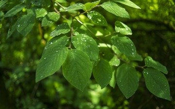 листья, макро, ветки, капли