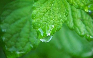 leaves, rosa, leaf, dew, water drops, close up, closeup
