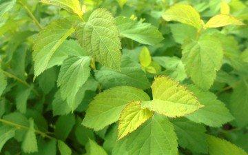 leaves, green, bush, plant, leaf
