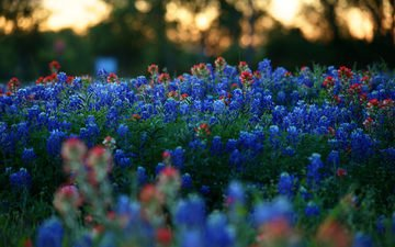 flowers, the evening, nature, plants, macro, red, glade, blur, meadow, blue