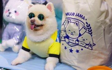 очки, собака, язык, шпиц, померанский шпиц