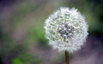 цветок, размытость, одуванчик, пух, крупный план, пушинки, былинки