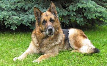 maulkorb, gras, blick, hund, deutscher schäferhund