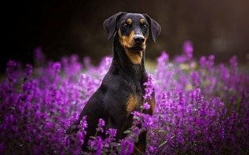 цветы, мордочка, взгляд, собака, пинчер