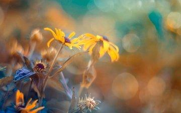 flowers, nature, macro, summer, petals, bokeh, yellow flowers, rudbeckia, magda bognar