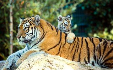 природа, животные, тигренок, хищники, детеныш, тигрица, тигры, anja ellinger