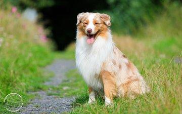 трава, собака, тропинка, язык, австралийская овчарка, аусси