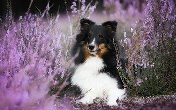 flowers, dog, bokeh, heather, sheltie, aleksandra kielreuter, shetland sheepdog