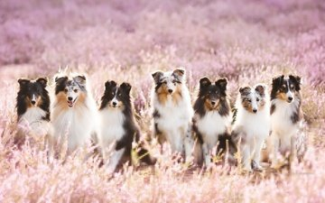 flowers, look, dogs, faces, sheltie, aleksandra kielreuter