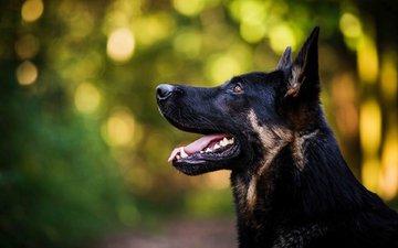 морда, взгляд, собака, профиль, язык, немецкая овчарка