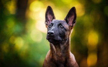 look, dog, puppy, malinois, belgian shepherd