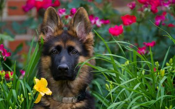 face, flowers, look, dog, puppy, german shepherd