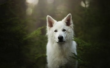 мордочка, взгляд, собака, белая швейцарская овчарка