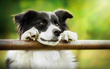 глаза, взгляд, собака, бордер-колли