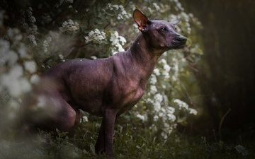 flowers, muzzle, look, dog, profile, the xoloitzcuintle, the mexican hairless dog