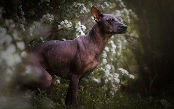 цветы, мордочка, взгляд, собака, профиль, ксолоитцкуинтли, мексиканская голая собака