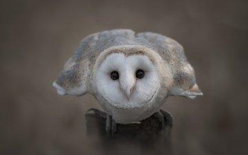 глаза, сова, взгляд, птица, клюв, перья, сипуха