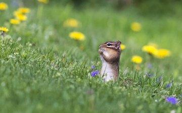 flowers, grass, nature, chipmunk, rodent