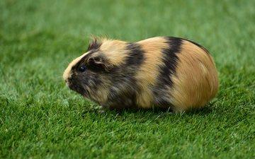 трава, животное, морская свинка