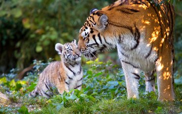 трава, природа, листья, животные, тигренок, хищники, детеныш, тигрица, тигры, anja ellinger