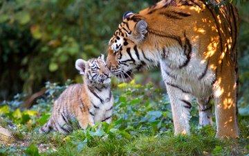 gras, natur, blätter, haustiere, tigerjunges, predators, jungtier, tigress, tiger, anja ellinger