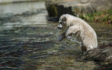 вода, камни, животное, белый медведь, детеныш, медвежонок, умка, anja ellinger