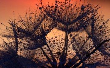 цветы, закат, капли, одуванчик, пух, крупный план, пушинки, былинки