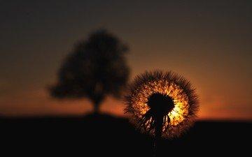 закат, цветок, одуванчик, пушинки, былинки