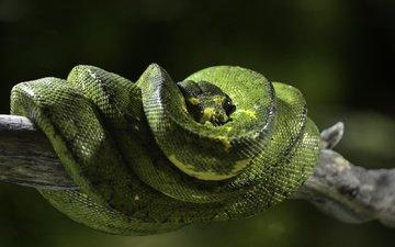 natur, schlange, python, reptil