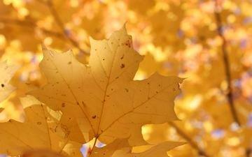 природа, листья, осень, размытость, кленовый лист