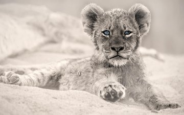 eyes, look, predator, animal, leo, lion, cub