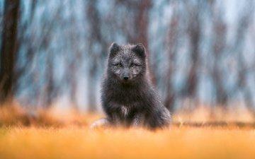 взгляд, лиса, дождь, лисица, боке, чернобурка, чернобурая, чернобурая лисица