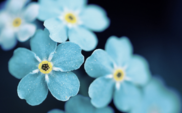 flowers, macro, petals, forget-me-nots, blue flowers