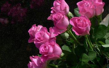 цветы, розы, розовый, куст