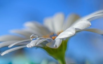 the sky, macro, flower, drop, petals, white, daisy, aylin in the dropland