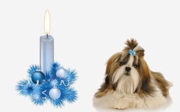 new year, muzzle, look, dog, puppy, candle, white background, christmas decorations, decoration, shih tzu