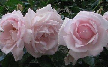 цветы, лето, розы, розовые