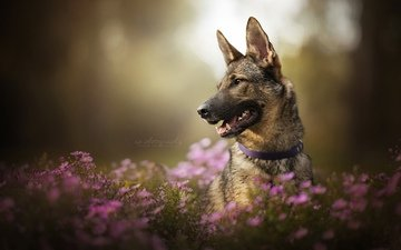 face, flowers, dog, chrysanthemum, bokeh