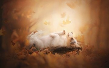 листья, осень, собака