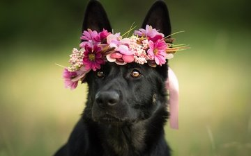 face, flowers, animals, look, dog, wreath, dogs, shepherd