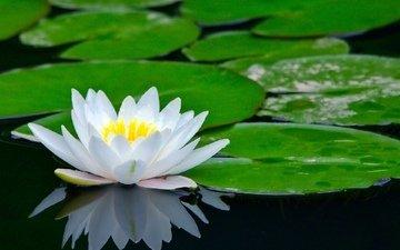 цветы, река, лотос