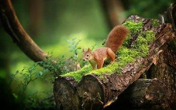 природа, дерево, фон, белка