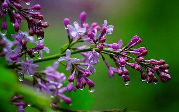 цветы, ветка, природа, макро, капли, сирень