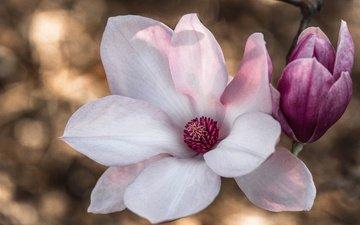macro, magnolia