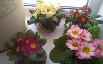 цветы, примула, комнатные растения