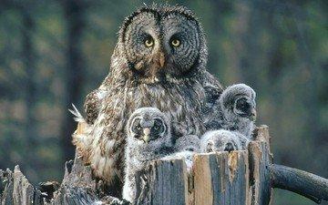 глаза, сова, взгляд, птицы, хищник, клюв, перья, пень, птенцы