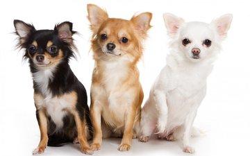 животные, взгляд, белый фон, собаки, мордочки, трое, чихуахуа