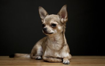 background, look, dog, baby, chihuahua